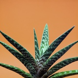 Aloe plant in front of orange background Photographic Print by Christopher Stevenson