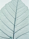 Leaf vein Photographic Print by Josh Westrich