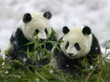 Giant Panda Cubs in Snowfall Photographic Print by Keren Su