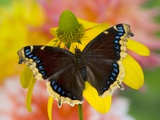 Morning Cloak North American Butterfly Photographic Print by Darrell Gulin
