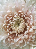 Chrysanthemum Rose Hybrid Fotodruck von Cora Buttenbender
