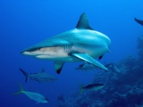 Gray Reef Shark Photographic Print by Stephen Frink