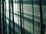 Sunbeams streaming through forest Photographic Print by Frank Krahmer