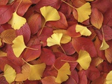 Autumnal Ginko and Dogwood Leaves Photographic Print