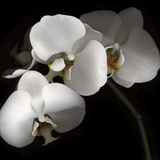White Phalaenopsis Orchids Photographic Print by Michael Freeman