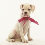 White Boxer Puppy Wearing Pink Bow Photographic Print by Pat Doyle