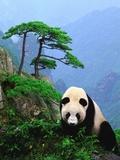 Panda gigante Lámina fotográfica