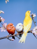 Three different colourful canaries sitting on a branch with blossoms Photographic Print by Hans Reinhard