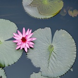 Water Lily on Hoan Kiem Lake, Hanoi, Vietnam Photographic Print by  JoSon