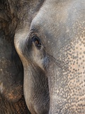 Close-up of Asian Elephant at Elephant Conservation Centre Photographic Print by William Manning