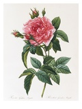Rosa Gallica Reglais Giclee Print by Pierre Joseph Redoute