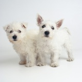 West Highland White Terrier Puppies Photographic Print by Pat Doyle