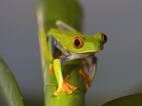 Red-Eyed Leaf Frog Photographic Print by Bob Krist