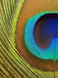 Peacock Feather Photographie par Tom Grill