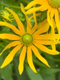 Rubeckia Hirta Flowers Photographic Print by Mark Bolton