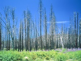 Dying forest in the Yosemite National Park, California, USA Photographic Print by Rainer Hackenberg
