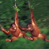 Two Young Orangutans Swinging Past Photographic Print