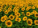 Champ de tournesols Photographie par Ron Watts