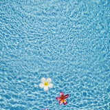White and pink frangipani floating in the pool, Bali, Indonesia Photographic Print by  JoSon