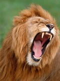Male lion tearing his mouth open Photographic Print by Winfried Wisniewski