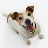 Jack Russell Terrier Panting Photographic Print by Russell Glenister