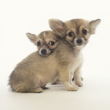 2 Long-Haired Chihuahuas Photographic Print by Pat Doyle