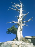 Dead tree in the Yosemite National Park, California, USA Photographic Print by Roland Gerth