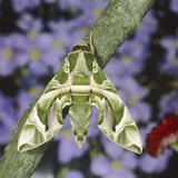 Oleander hawk moth sitting on a branch Photographic Print by Volkmar Brockhaus