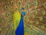Peacock Photographic Print by Craig Tuttle