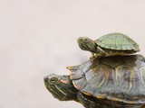 Baby Turtle Riding on Mother's Back Photographic Print by Keren Su