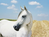 White Horse on Stubble Field Photographie par Birgid Allig