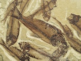 Fossilized Devonian Fish Photographic Print by Michael Freeman