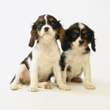 Cavalier King Charles Spaniel Puppies Photographic Print by Pat Doyle