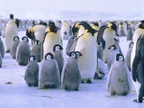 Emperor penguin with young animal Photographic Print by Hans Reinhard