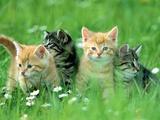 Four Kittens Fotografisk tryk af Frank Lukasseck