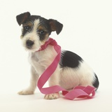 Jack Russell Puppy Wearing Pink Ribbon Photographic Print by Pat Doyle