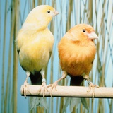 Two canaries sitting on a pole Photographic Print by Hans Reinhard