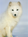 Polar fox sitting in the snow Photographic Print by Theo Allofs