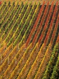 Vineyard, Germany Photographic Print by Herbert Kehrer