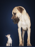 Toy Chihuahua and Great Dane Photographic Print