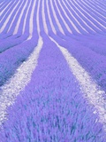 Blooming lavender in lines Photographic Print by Herbert Kehrer