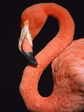 American flamingo Photographic Print by Herbert Kehrer