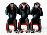 Three chimpanzees Photographic Print by Holger Scheibe