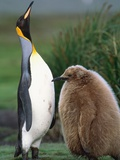 King Penguin Adult and Chick Photographic Print by Kevin Schafer