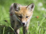 Red Fox Pup Fotografie-Druck von Frank Lukasseck