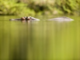 Hippopotamus Submerged in Natural Pool Photographic Print by Paul Souders