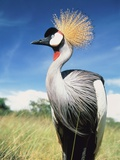 Grey crowned crane Photographic Print by Frank Krahmer