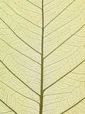 Leaf of a Poplar, Macro Shot Photographic Print by Josh Westrich