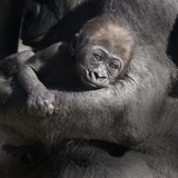 Baby Gorilla Being Held by Mother Photographic Print