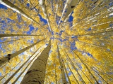 Quaking Aspen Grove in Fall, Colorado Fotografie-Druck von John Eastcott & Yva Momatiuk